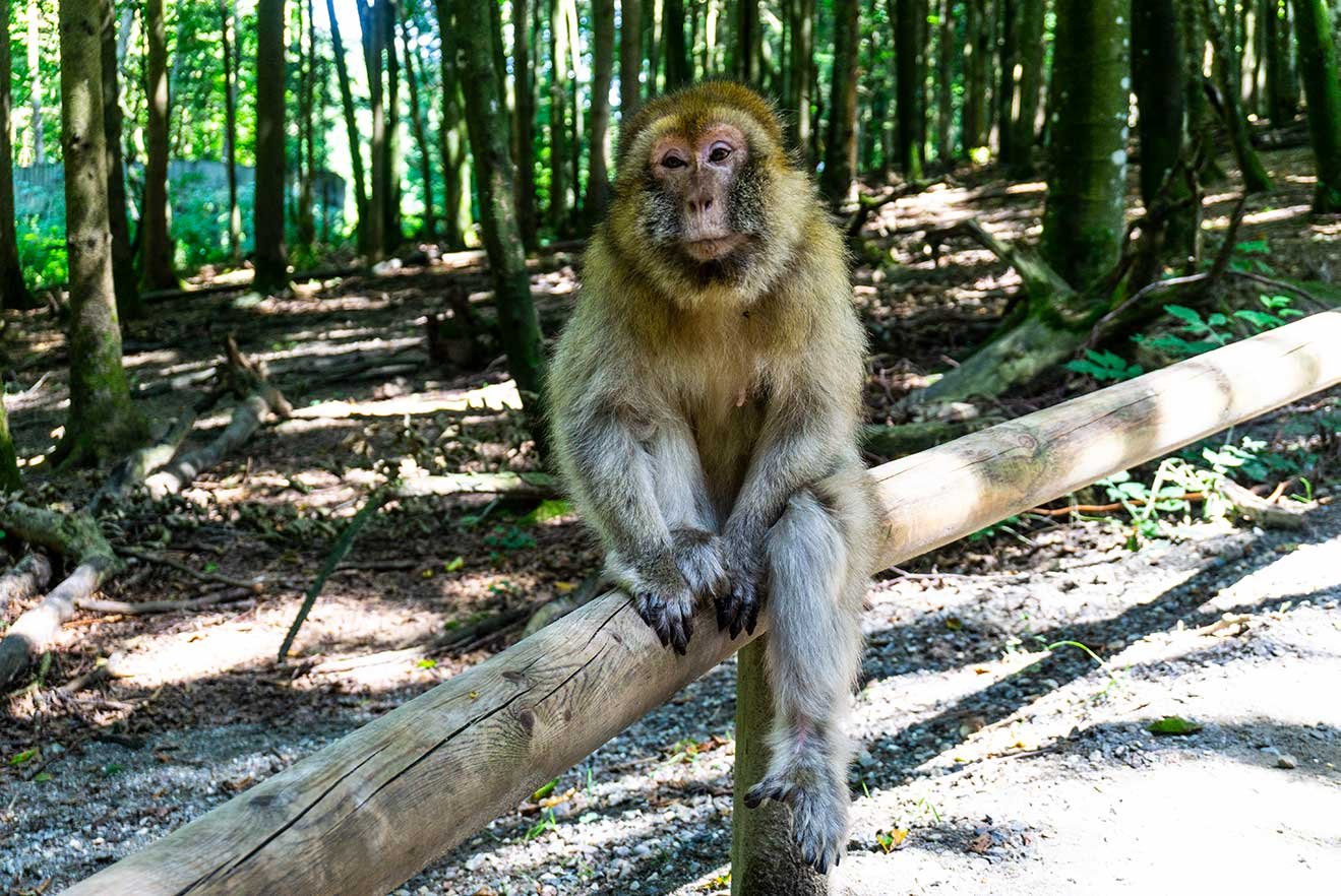 A monkey sits on a railing with a forest in the background.