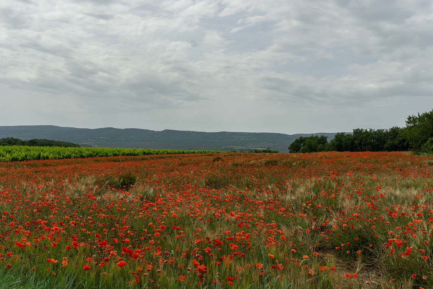 A field of poppies.